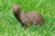 Indian Mongoose - Herpestes javanicus