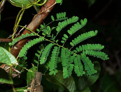 Abrus precatorius - Rosary Pea, Rosarypea, Precatory Bean, Jequirity Pea, Bead Vine, Black-eyed Susan, Crab's Eye, Coral-beadplant (leaf)