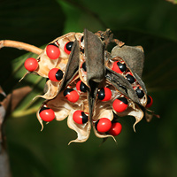 Hawaiian Fruit or Cones - Abrus precatorius – Rosary Pea