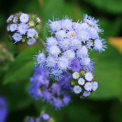 Ageratum sp. - Ageratum, Whiteweed, Flossflower, Maile Honohono, Maile Hohono, Maile Kula (blue flowers)