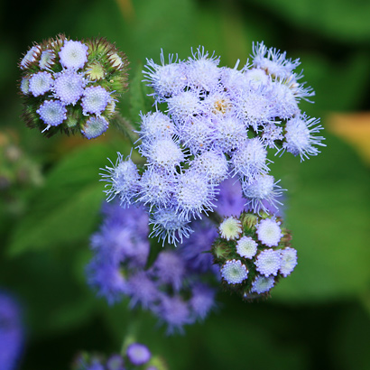 Ageratum spp Ageratum Whiteweed Flossflower Maile Honohono