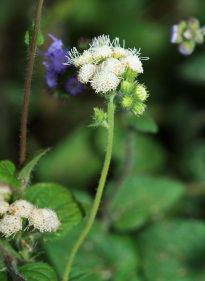 Ageratum sp. - Ageratum, Whiteweed, Flossflower, Maile Honohono, Maile Hohono, Maile Kula (white flowers)