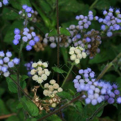 Ageratum sp. - Ageratum, Whiteweed, Flossflower, Maile Honohono, Maile Hohono, Maile Kula
