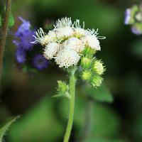 White Hawaiian Flowers - Ageratum spp. – Ageratum