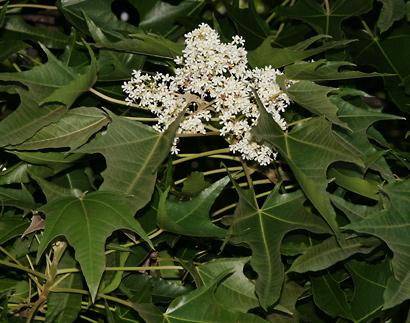 Aleurites moluccana - Kukui, Indian Walnut, Candlenut, Kuikui (flowers)