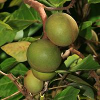 Hawaiian Fruit or Cones - Aleurites moluccana – Kukui