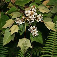 White Hawaiian Flowers - Aleurites moluccana – Kukui