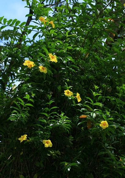 Allamanda cathartica - Allamanda, Yellow Allamanda, Golden Trumpet