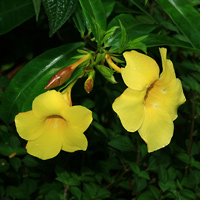 Yellow Hawaiian Flowers - Allamanda cathartica – Allamanda