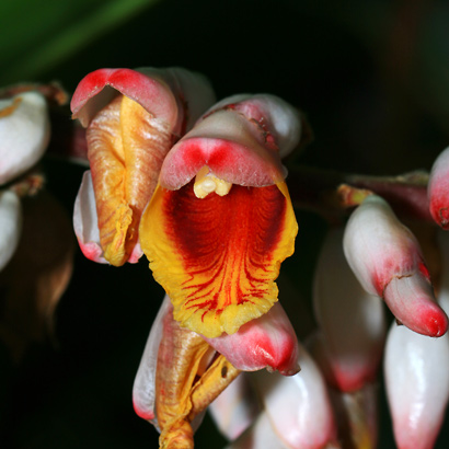 Alpinia zerumbet - Shell Ginger, Shellplant, Shellflower, Pink Porcelain Lily, Light Galangal (flower)
