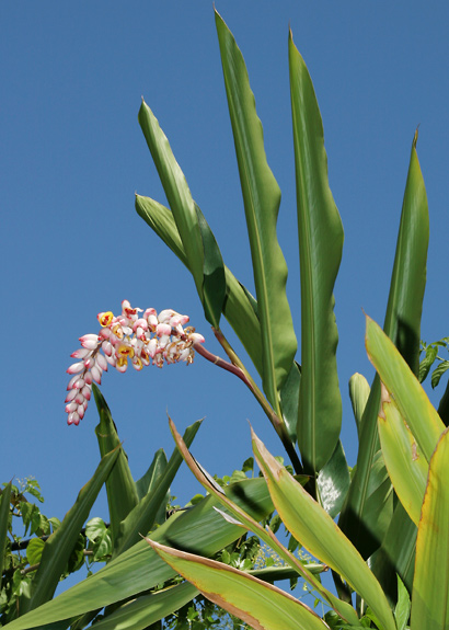 Alpinia zerumbet - Shell Ginger, Shellplant, Shellflower, Pink Porcelain Lily, Light Galangal