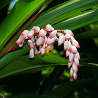 Exotic Tropical Flowers - Alpinia zerumbet – Shell Ginger