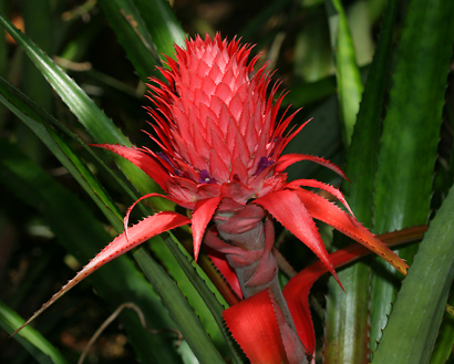 Ananas bracteatus - Red Pineapple, Wild Pineapple (flowers)