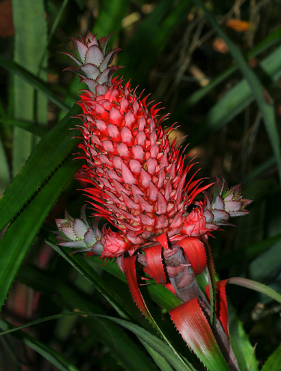 Ananas bracteatus - Red Pineapple, Wild Pineapple (fruit)