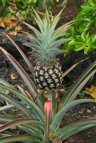 Ananas comosus - Pineapple (unripe fruit)