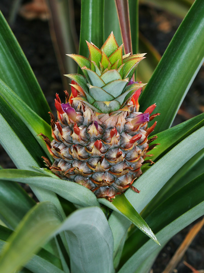 Ananas comosus - Pineapple (brown inflorescence)