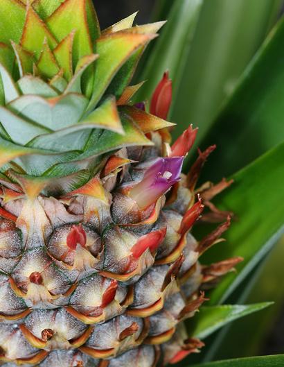 Ananas comosus - Pineapple (purple flower)