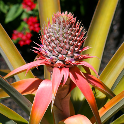 Ananas comosus - Pineapple (pink inflorescence)