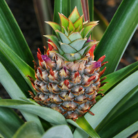 Brown and Drab Hawaiian Flowers - Ananas comosus – Pineapple