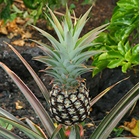 Hawaiian Fruit or Cones - Ananas comosus – Pineapple