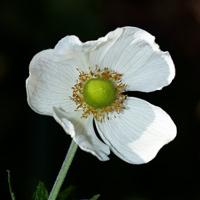 White Hawaiian Flowers - Anemone hupehensis – Japanese Thimbleweed