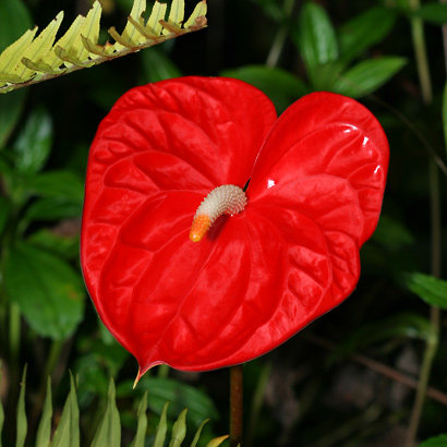 Anthurium andraeanum - Anthurium, Flamingo-lily, Flamingo Flower, Oilcloth-flower, Tail Flower (red flower)