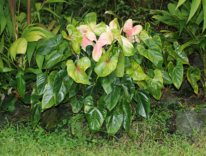 Anthurium andraeanum - Anthurium, Flamingo-lily, Flamingo Flower, Oilcloth-flower, Tail Flower (pink and green flowers)