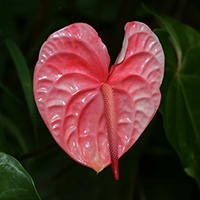 Exotic Tropical Flowers - Anthurium andraeanum – Anthurium