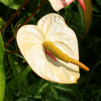 White Hawaiian Flowers - Anthurium andraeanum – Anthurium