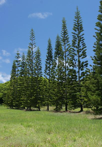 Araucaria columnaris - Cook Pine, New Caledonia Pine, Cook Araucaria, Columnar Araucaria