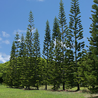 Non-flowering Hawaiian Plants - Araucaria columnaris – Cook Pine