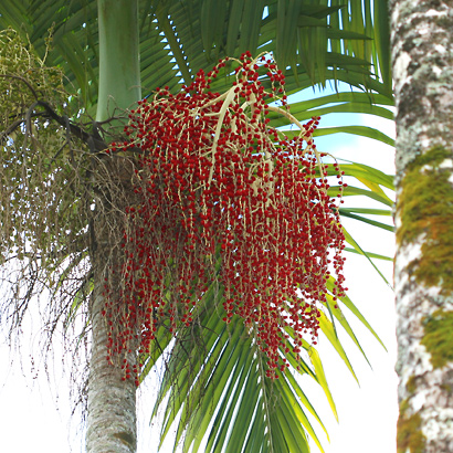 Archontophoenix alexandrae - Alexandra Palm, King Palm, Northern Bangalow Palm (fruit)
