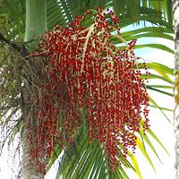 Hawaiian Fruit or Cones - Archontophoenix alexandrae – Alexandra Palm