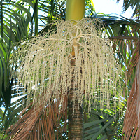 White Hawaiian Flowers - Archontophoenix alexandrae – Alexandra Palm