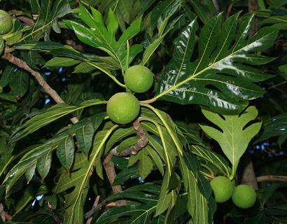Artocarpus altilis - Breadfruit, 'Ulu