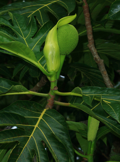 Artocarpus altilis - Breadfruit, 'Ulu (female flower)