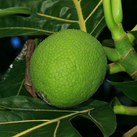 Hawaiian Fruit or Cones - Artocarpus altilis – Breadfruit