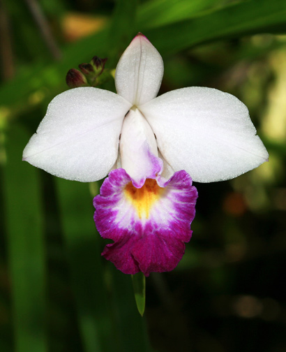 Arundina graminifolia - Bamboo Orchid (white flower)