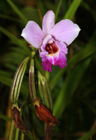 Arundina graminifolia - Bamboo Orchid (pink flower)