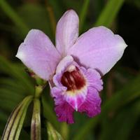 Pink Hawaiian Flowers - Arundina graminifolia – Bamboo Orchid