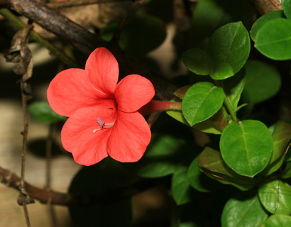Barleria repens - Coral Creeper, Red Barleria, Creeping Barleria, Small Bush Violet