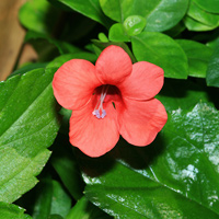 Red Hawaiian Flowers - Barleria repens – Coral Creeper