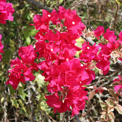 Bougainvillea sp. - Bougainvillea (variegated)