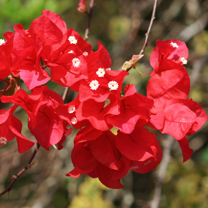Bougainvillea sp. - Bougainvillea (red flowers)