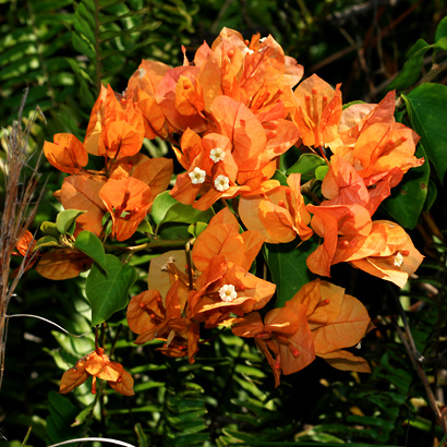 Bougainvillea sp. - Bougainvillea (orange flowers)