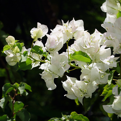 Bougainvillea sp. - Bougainvillea (white flowers)