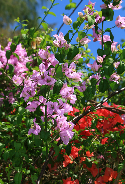Bougainvillea sp. - Bougainvillea (lilac flowers)