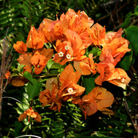 Orange Hawaiian Flowers - Bougainvillea spp. – Bougainvillea