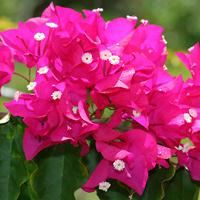 Pink Hawaiian Flowers - Bougainvillea spp. – Bougainvillea