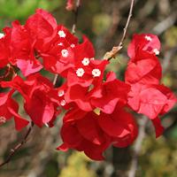 Red Hawaiian Flowers - Bougainvillea spp. – Bougainvillea